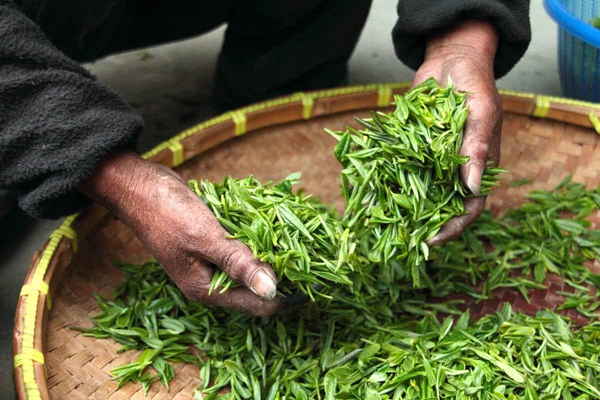 eat tea leaves