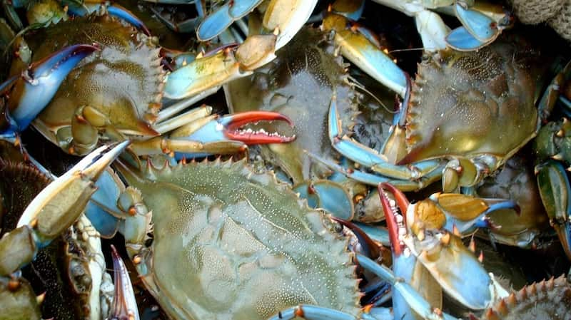 Iconic Blue Crabs in Chesapeake Bay